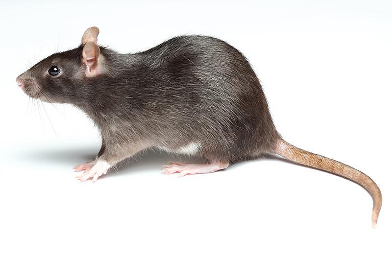 Ratten-bekaempfen